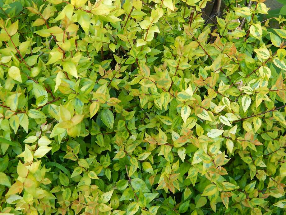 Abelia Kaleidoscope shrub is compact and resilient. Photo: Earl Nickel