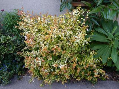 Abelia Kaleidoscope Good In A Tight Spot Sfchroniclecom