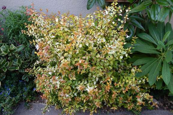 Abelia Kaleidoscope shrub.   Credit: Earl Nickel