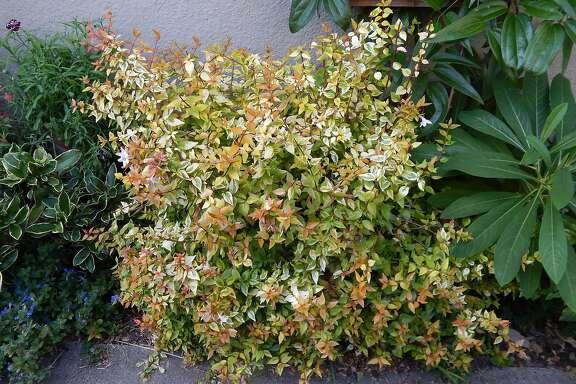Abelia Kaleidoscope shrub.   Credit: Earl Nickel