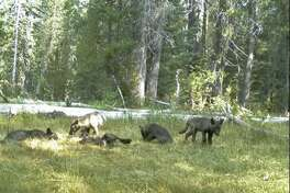 FILE - In this Aug. 9, 2015, file photo, still image from video released by the California Dept. of Fish and Wildlife shows evidence of five gray wolf pups and two adults in Northern California. California has its first wolf pack since the state's last known wolf was killed in 1924. They were named the Shasta pack for nearby Mount Shasta. California wildlife advocates say they are searching for seven gray wolves that haven't been spotted in months. The San Francisco Chronicle reports Saturday, March 10, 2017, the first wolf pack to make the state home in nearly a century hasn't been seen since May 2016. The family, known as the Shasta Pack, disappeared from southeastern Siskiyou County over the past year. (California Dept. of Fish and Wildlife via AP, File)