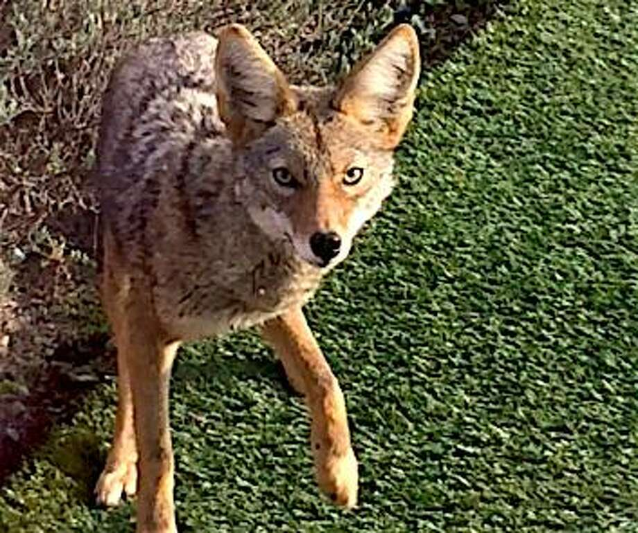 Awesome Coyote In My Backyard Amazing Design