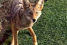 "A coyote jumped into the backyard of Jean Brady of Millbrae on the Peninsula in San Mateo County -- ""he comes 5 to 10 times a day,"" she said."