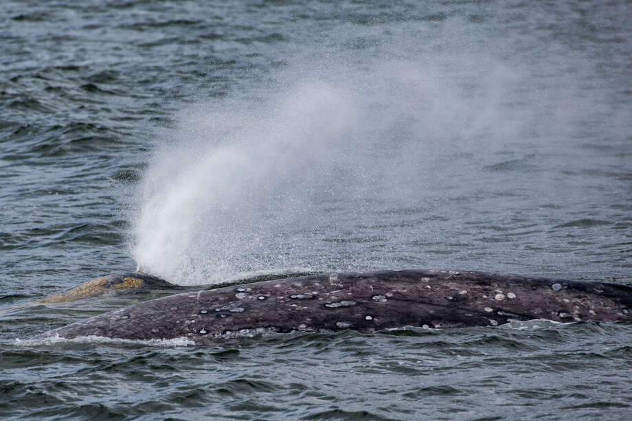 Two gray whales travel together near Hat Island during a whale watching tour on the San Juan Clipper, on Saturday, March 25, 2017. Photo: GRANT HINDSLEY, SEATTLEPI.COM / SEATTLEPI.COM