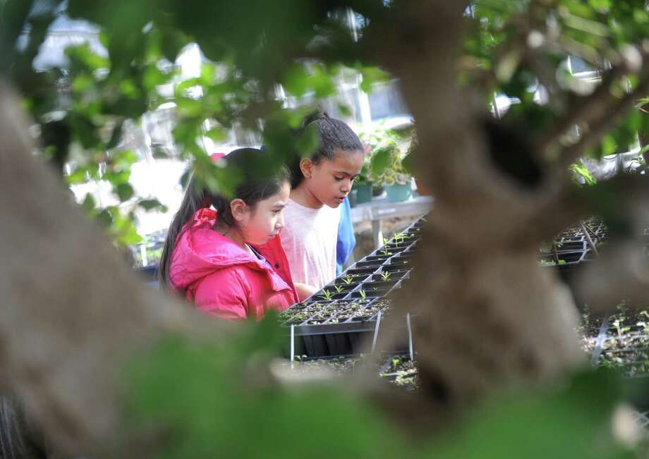 Fourth graders Camilla Marroquin , left, and Ellanna McDonald look at plants growing in the greenhouse at the Greenwich Land Trust in Greenwich, Conn. Wednesday, March 22, 2017. About 50 fourth-graders from John F. Kennedy Magnet School in Port Chester, N.Y. are parcitipating in a 10-session off-season garden club at the Land Trust, doing a variety of fun horticultural activities. In the most recent session, kids learned about maple tapping and ate maple candy, monitored lettuce they planted earlier, and released ladybugs to eat aphids on a bonsai tree in the greenhouse. Photo: Tyler Sizemore / Hearst Connecticut Media / Greenwich Time