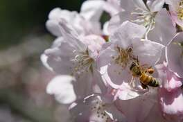 A bee pollinates the flowers of Golden Gate Park in San Francisco Calif, on Thursday, March 31, 2011.