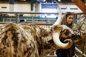 Houston Livestock Show and Rodeo student intern Emily Gainey reacts as a longhorn cow gets a little aggressive as she tries to hang hay in its pen on the opening day of the Houston Livestock Show and Rodeo Tuesday, March 7, 2017 in Houston. ( Michael Ciaglo / Houston Chronicle )