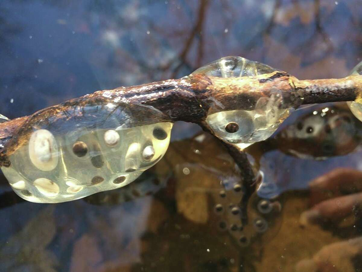 Observers have seen wood frogs, spermatophores and egg masses in vernal pools as of March 27, 2016, some under ice after pools froze again, the state Department of Environmental Conservation said. (Photos by state Department of Environmental Conservation)