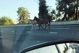 A white horse and brown mule caused delays on I-680 during the morning commute on Monday, March 27, 2017.