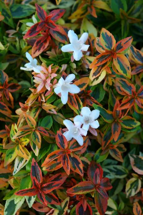 Abelias are a colorful shrub that push out half-inch flared white flowers during their late-summer flower season.
