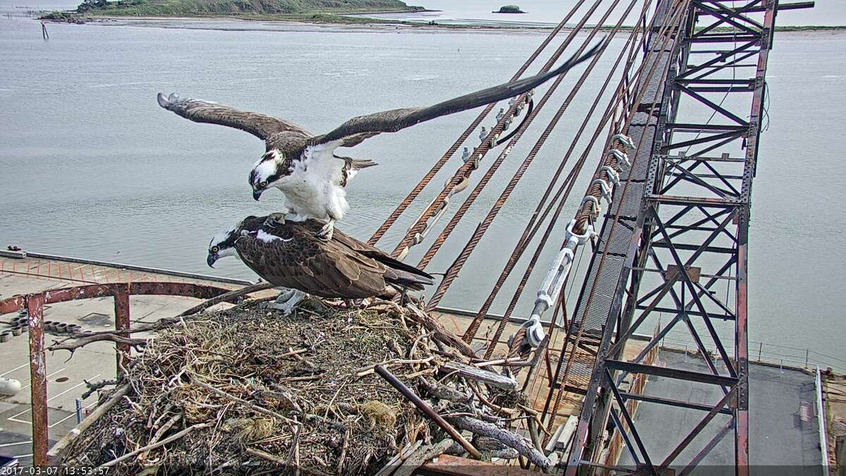 Golden Gate Audobon Society installed two high-def streaming video cameras at an Osprey nesting spot on the historic Whirley Crane in Richmond. The live video streem is viewable here.