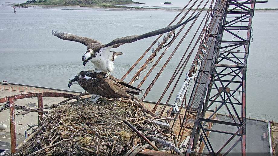 Golden Gate Audobon Society installed two high-def streaming video cameras at an Osprey nesting spot on the historic Whirley Crane in Richmond. The live video streem is viewable here. Photo: Courtesy SFBayOspreys.org