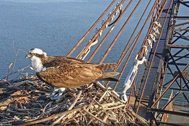 Golden Gate Audobon Society installed two high-def streaming video cameras at an Osprey nesting spot on the historic Whirley Crane in Richmond. The live video streem is viewable  here .