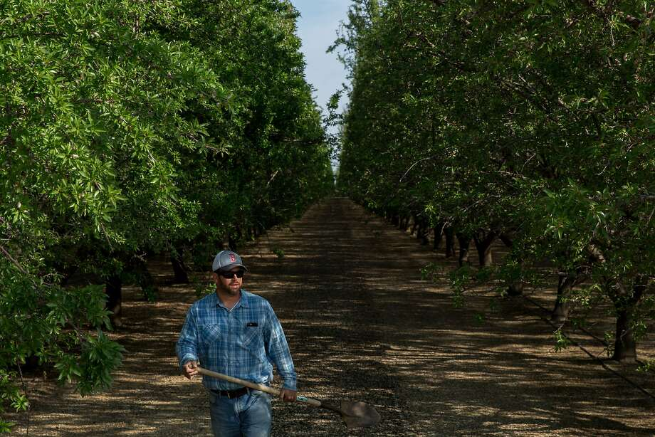 Adam Icardo checks for weeds on his farm of almond trees in Bakersfield. Photo: Santiago Mejia, The Chronicle