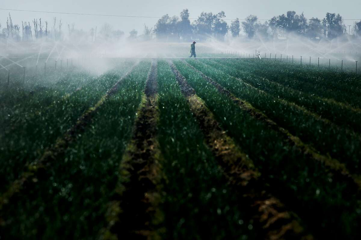 A worker checks the sprinklers of an onion farm on Tuesday, March 14, 2017, in Bakersfield, Calif. The land owner there did not allow the photographer to identify the worker by face or name. With Donald Trump vowing a crackdown on undocumented residents, farmers in Kern County and across the state are worried about whether they will have the workers needed to get crops in the ground and move them to market.