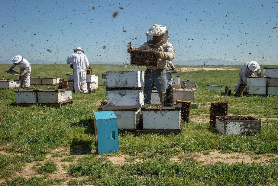 Beekeepers check the hives in Bakersfield. Photo: Santiago Mejia, The Chronicle