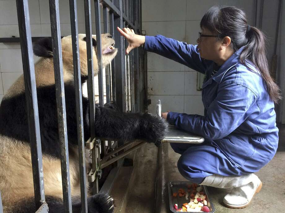 Panda keeper Xu Yalin checks eyesight and teeth of a 24-year-old female Giant Panda in Sichuan province. Photo: Helene Franchineau, Associated Press