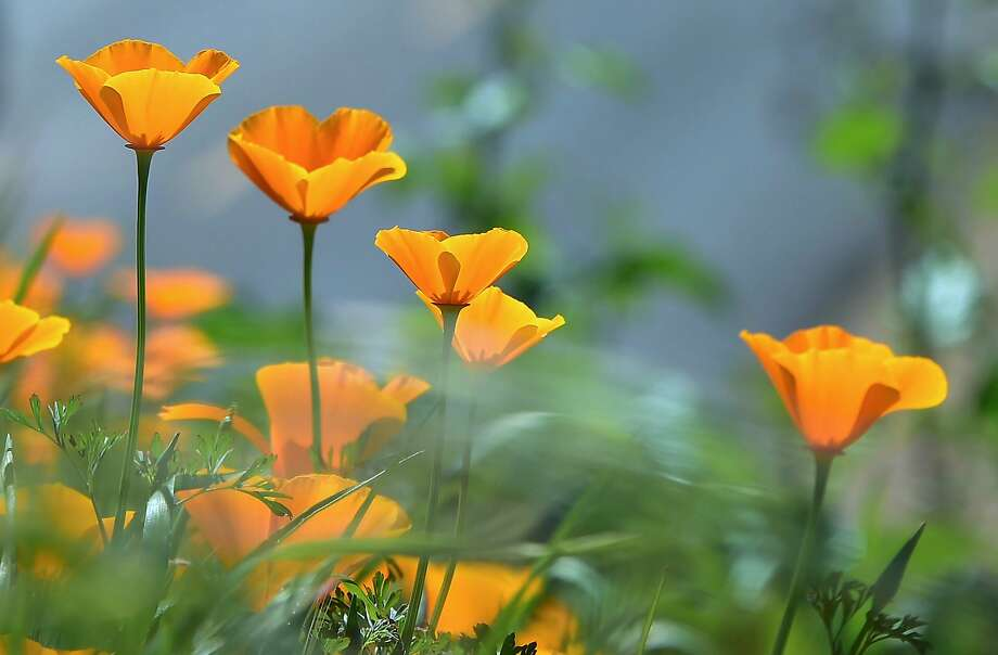 Wildflowers bloom at Chino Hills State Park in Chino Hills, California on March 12, 2017 amid an explosion of wildflowers blooming across southern California following this winter's rain after a severe five-year drought.  Seen here are California Poppy, (Eschscholzia californica) a flowering plant in the Papaveraceae family, native to the United States and Mexico which grows from Southern Washington state to Baja California. / AFP PHOTO / FREDERIC J. BROWNFREDERIC J. BROWN/AFP/Getty Images Photo: FREDERIC J. BROWN, AFP/Getty Images