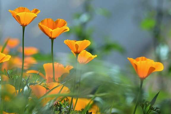 Wildflowers bloom at Chino Hills State Park in Chino Hills, California on March 12, 2017 amid an explosion of wildflowers blooming across southern California following this winter's rain after a severe five-year drought.  Seen here are California Poppy, (Eschscholzia californica) a flowering plant in the Papaveraceae family, native to the United States and Mexico which grows from Southern Washington state to Baja California. / AFP PHOTO / FREDERIC J. BROWNFREDERIC J. BROWN/AFP/Getty Images
