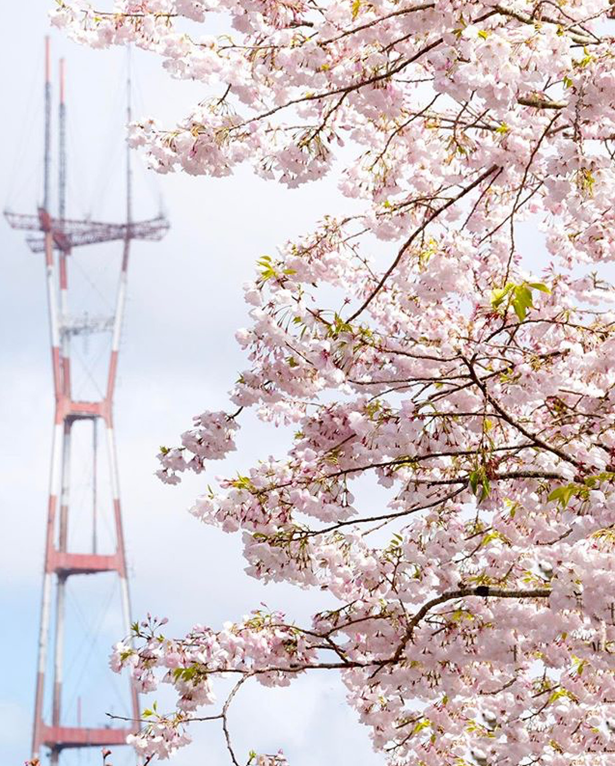 @the415guy caputred the cherry blossoms in full bloom in front of Sutro Tower.