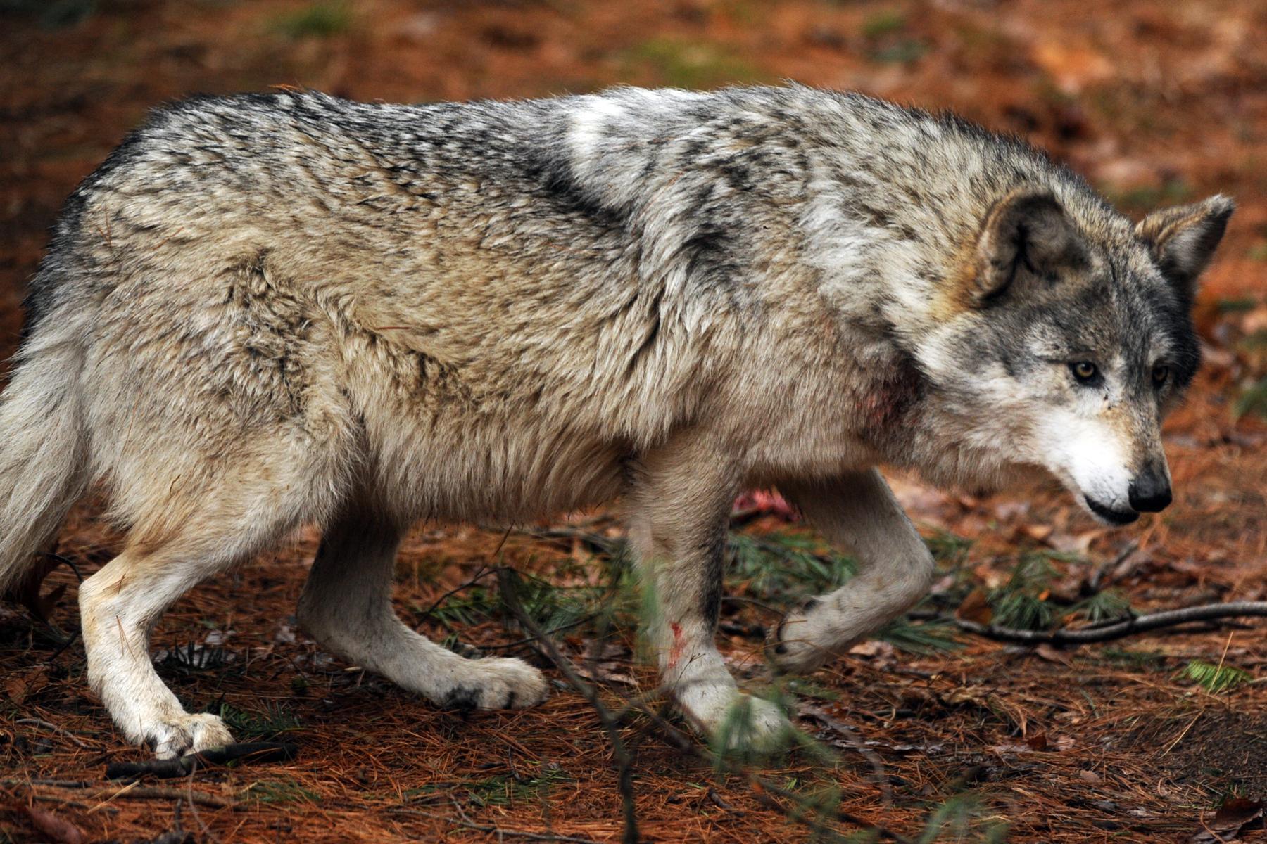картинка трусливого волка цвет рядом