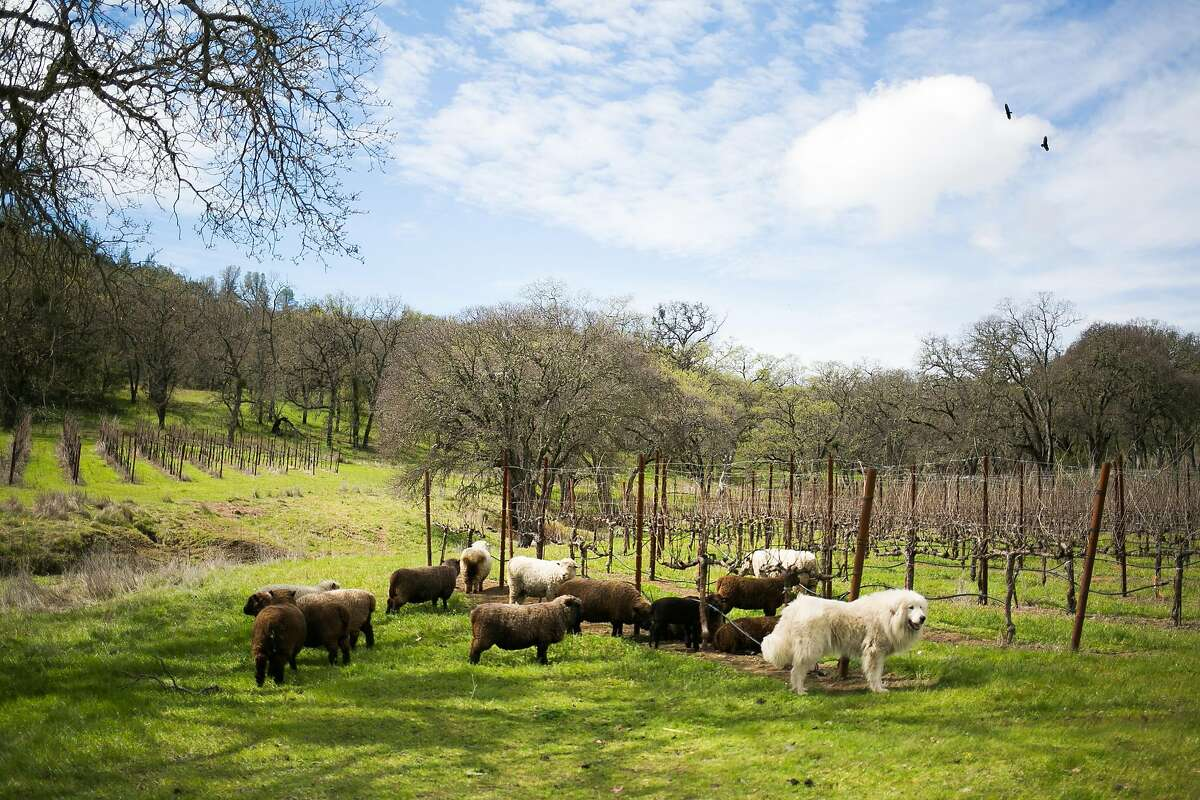 Sheep graze between rows of grapes at Six Sigma Ranch & Winery in Lower Lake.