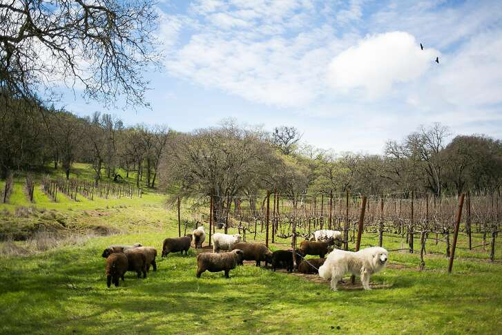 Sheep graze between the rows of grapes at Six Sigma Ranch & Winery in Lower Lake, Calif. Sunday, March 19, 2017.