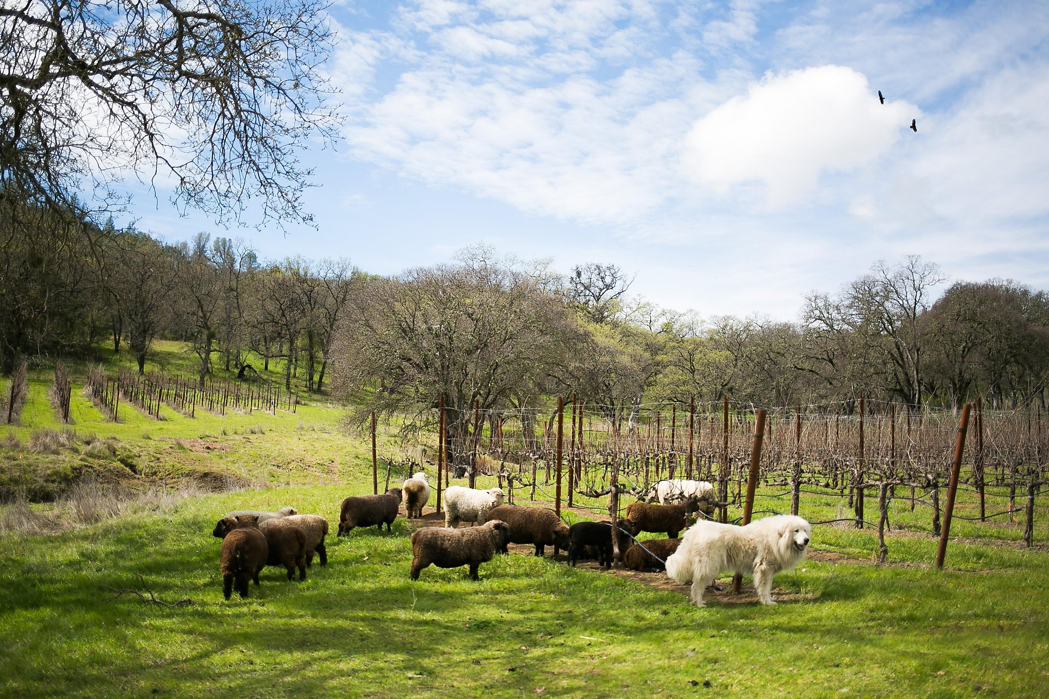 travel news tips and features san francisco chronicle sheep graze between the rows of grapes at six sigma ranch winery in lower lake