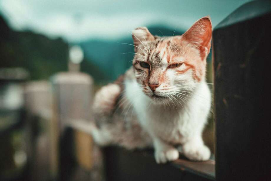 Two retired school teachers have been feeding and providing trap-neuter-return for hundreds of cats in San Antonio for several decades. Photo: Xuan Long Ho / EyeEm /Getty Images / This content is subject to copyright.