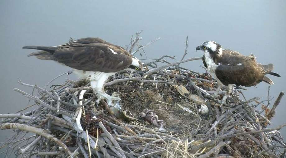 An osprey pair tends to their recently hatched young in a large nest that they've built on a Greenwich Harbor dock. Photo courtesy of Jacob Steinberg. Photo: Contributed Photo / Greenwich Time Contributed