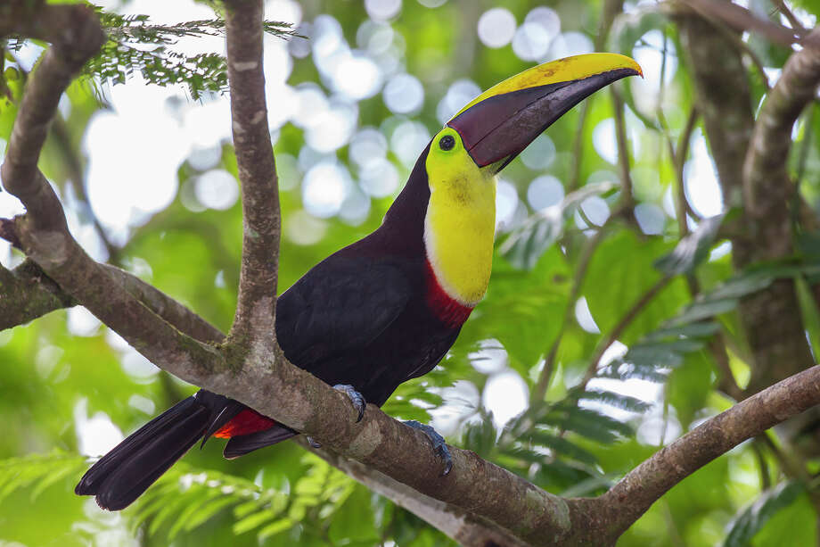 The bulky 7-inch long beak of a black-mandibled toucan is one-third of the bird's total length and amazingly lightweight. Photo: Kathy Adams Clark / Kathy Adams Clark/KAC Productions