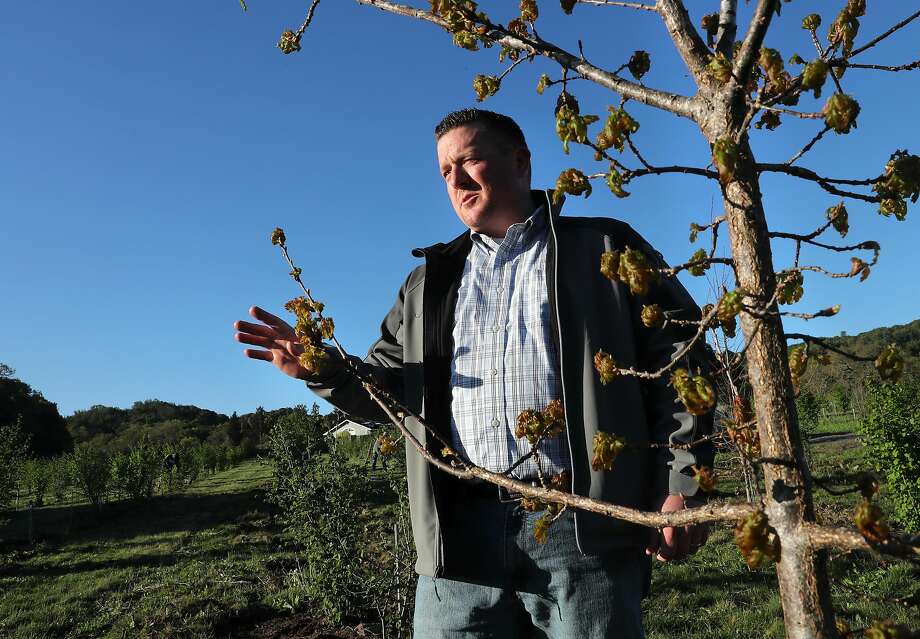 Vineyard and orchard manager Brian Malone of Jackson Family Wines stands near a White Oak tree on the 10 acre orchard where they grow black truffles at Jackson Family Wines in Santa Rosa, Ca., as seen on Fri. Mar. 31, 2017. They have completed their first harvest of truffles last February after the initial planting of the orchard in 2011. Photo: Michael Macor, The Chronicle