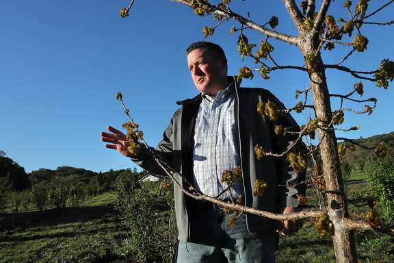 Vineyard and orchard manager Brian Malone of Jackson Family Wines stands near a White Oak tree on the 10 acre orchard where they grow black truffles at Jackson Family Wines in Santa Rosa, Ca., as seen on Fri. Mar. 31, 2017. They have completed their first harvest of truffles last February after the initial planting of the orchard in 2011.