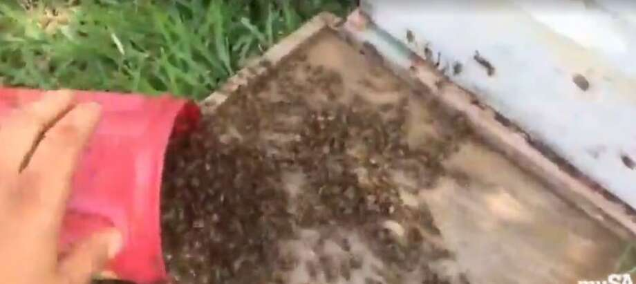 "A fearless South Texas beekeeper braved a ""monster swarm"" and live streamed the capture of a beehive on Facebook. Photo: Screen Grabs"