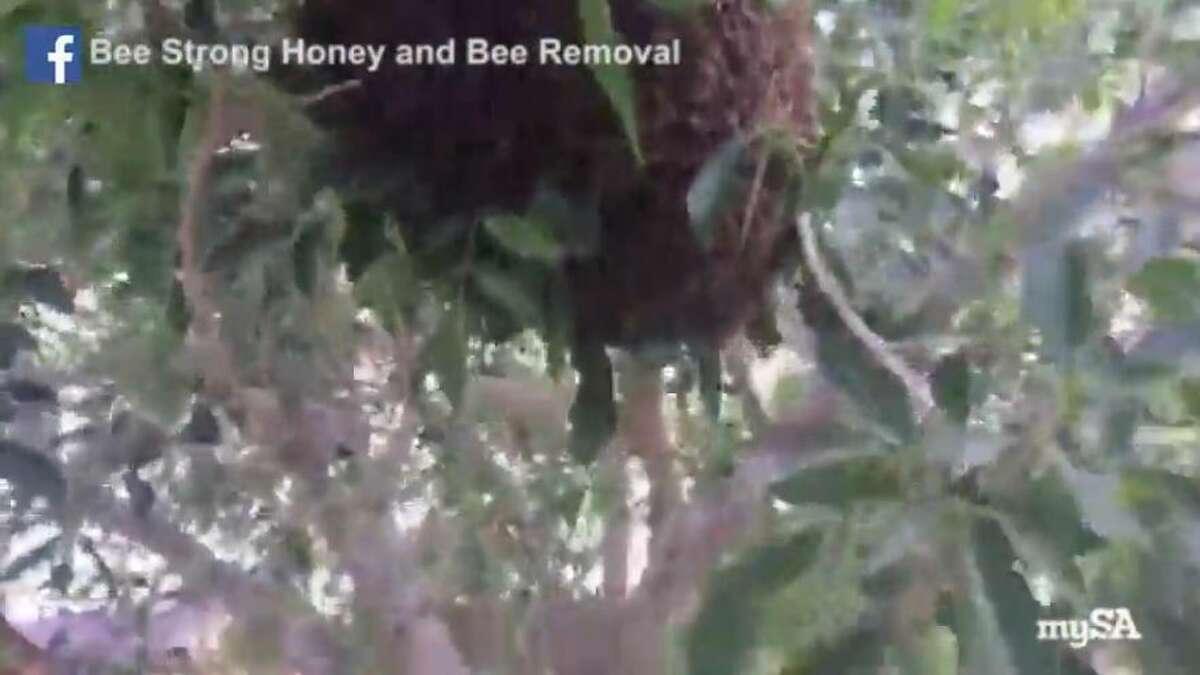 """A fearless South Texas beekeeper braved a """"monster swarm"""" and live streamed the capture of a beehive on Facebook."""