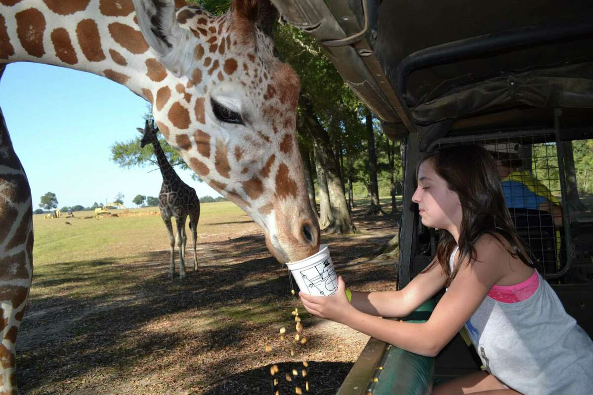At Global Wildlife Center visitors get close-up encounters with the animals, who approach the vehicles eager for food handouts.