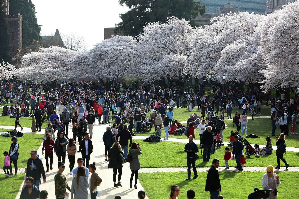 Thousands of people were out Friday afternoon admiring the blooming cherry blossoms on the quad at the University of Washington, March 31, 2017.