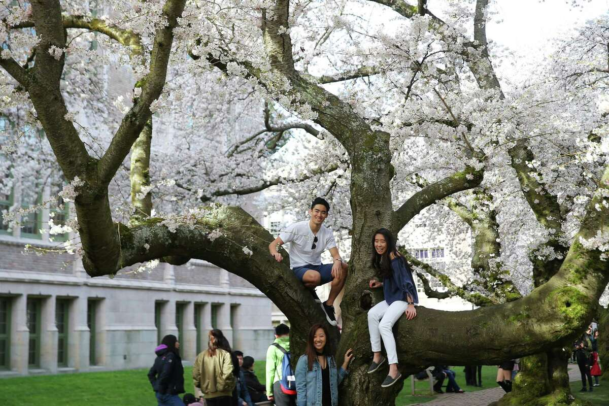 Those cherry trees are historic. Climb them anyway. Enjoy the quad! It's the quintessential college experience, and UW's one of the tops in terms of picturesque quads in the world, honestly.