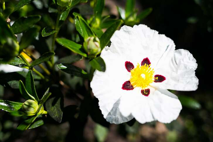 A Cistus inflatus is seen at the Botanical Gardens  in San Francisco, Calif. Saturday, April 1, 2017.