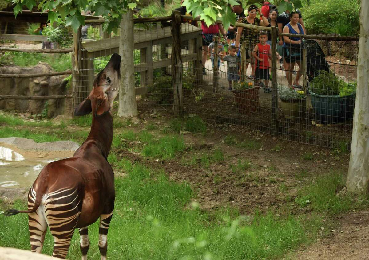 """Visitors at the San Antonio Zoo admire an okapi, which the San Antonio Zoo tweeted about as a newly discovered species that is """"a mix between a giraffe and a zebra"""" as it wanders its enclosure on April Fools Day, Saturday, April 1, 2017."""
