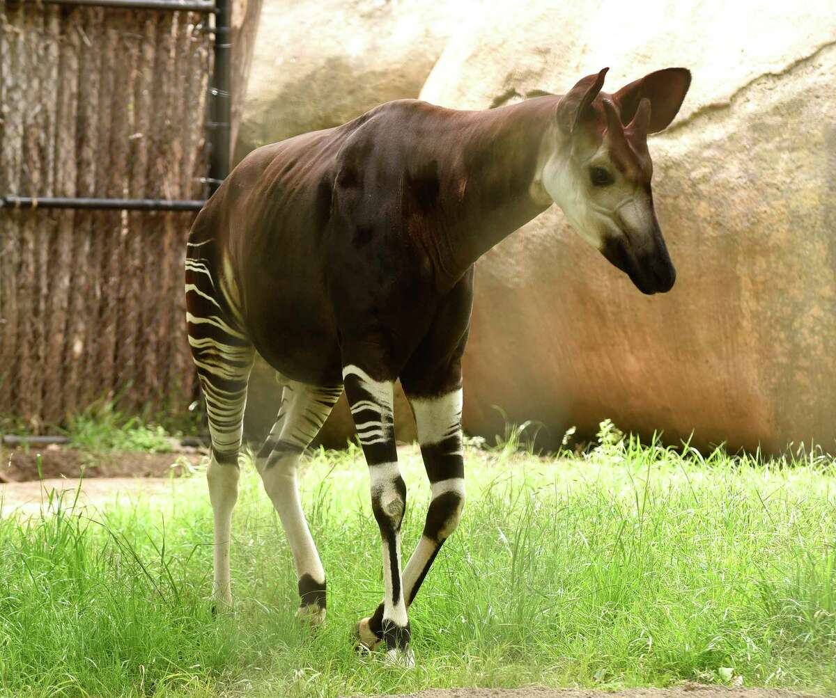 """An okapi, which the San Antonio Zoo tweeted about as a newly discovered species that is """"a mix between a giraffe and a zebra,"""" wanders its enclosure on April Fools Day, Saturday, April 1, 2017."""