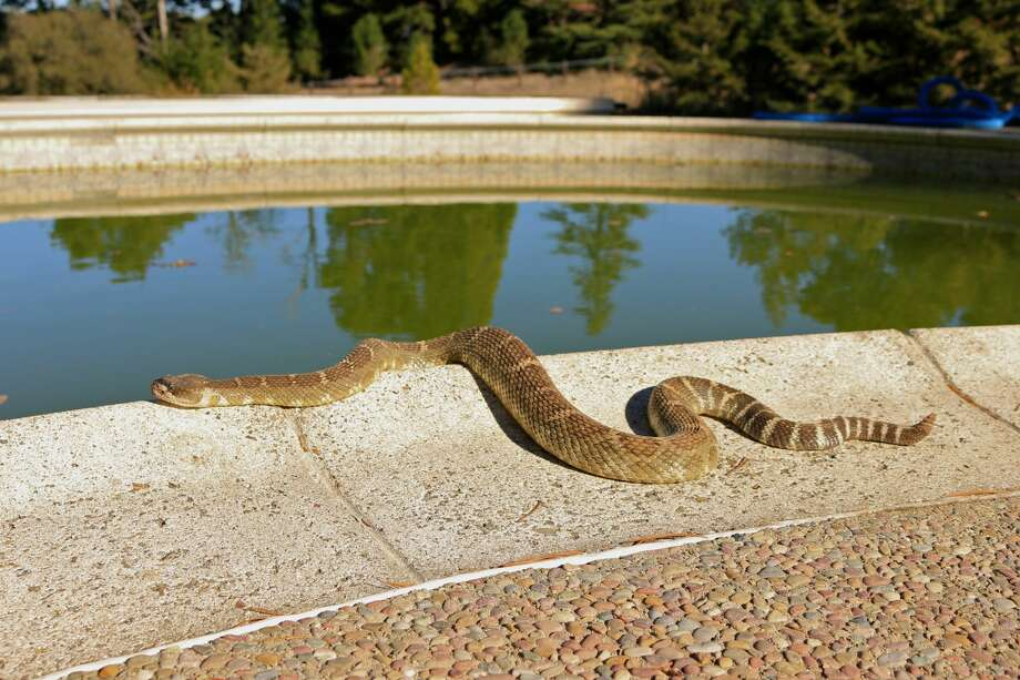Snake season has arrived in Northern California, which means venomous rattlesnakes will be slithering around the East and South Bay. Pictured above: Northern Pacific rattlesnake. Photo: David Allen/Got Snakes?