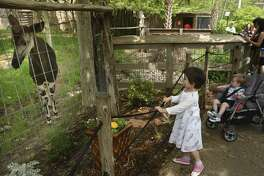 """An okapi, which the San Antonio Zoo tweeted about as a newly discovered species that is """"a mix between a giraffe and a zebra,"""" wanders its enclosure as children Maggie and Ellie FitzGibbons watch on April Fools Day, Saturday, April 1, 2017."""