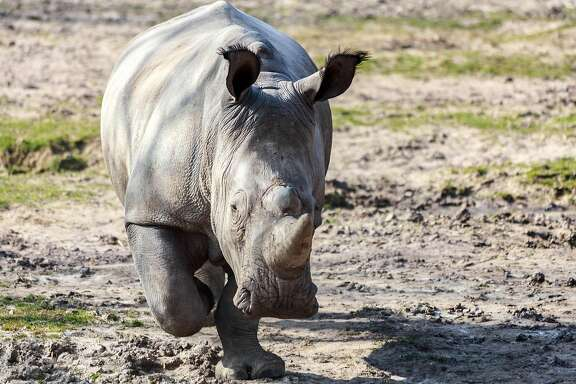 """TOPSHOT - This handout photo released on March 8, 2017 by the Domaine de Thoiry and dated from March 22, 2016 shows a rhinoceros named ''Vince'' at the Thoiry Zoo, in Thoiry, outside Paris.  Intruders at a French zoo shot dead a white rhino and hacked off its horns in a grisly overnight poaching incident, police and the zoo said on March 7, 2017. The animal, a four-year-old southern white male named Vince, was attacked inside an area where at least two other rhinos are kept.  / AFP PHOTO / DOMAINE DE THOIRY / Arthus Boutin / RESTRICTED TO EDITORIAL USE - MANDATORY CREDIT """"AFP PHOTO / ARTHUS BOUTIN/DOMAINE DE THOIRY"""" - NO MARKETING NO ADVERTISING CAMPAIGNS - DISTRIBUTED AS A SERVICE TO CLIENTS  ARTHUS BOUTIN/AFP/Getty Images"""