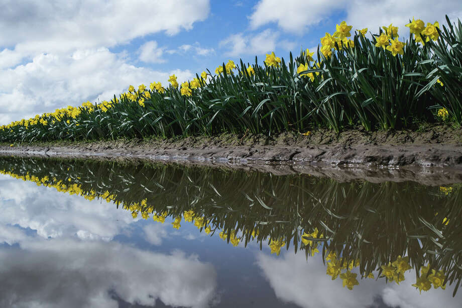 Daffodils are reflected in mud puddles in Skagit Valley on Sunday, April 2, 2017. Photo: GRANT HINDSLEY, SEATTLEPI.COM / SEATTLEPI.COM