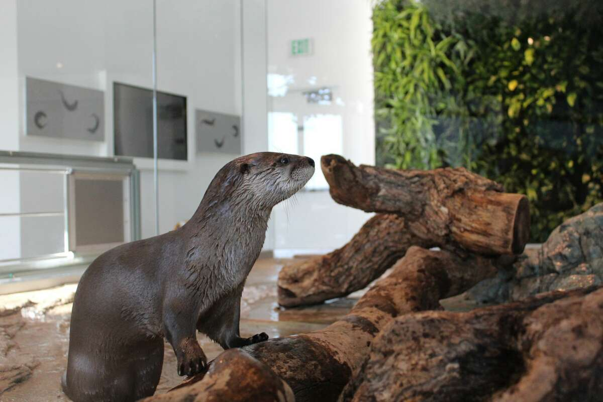 Tahoe, a baby river otter, will soon be coming to the Aquarium of the Bay in San Francisco.