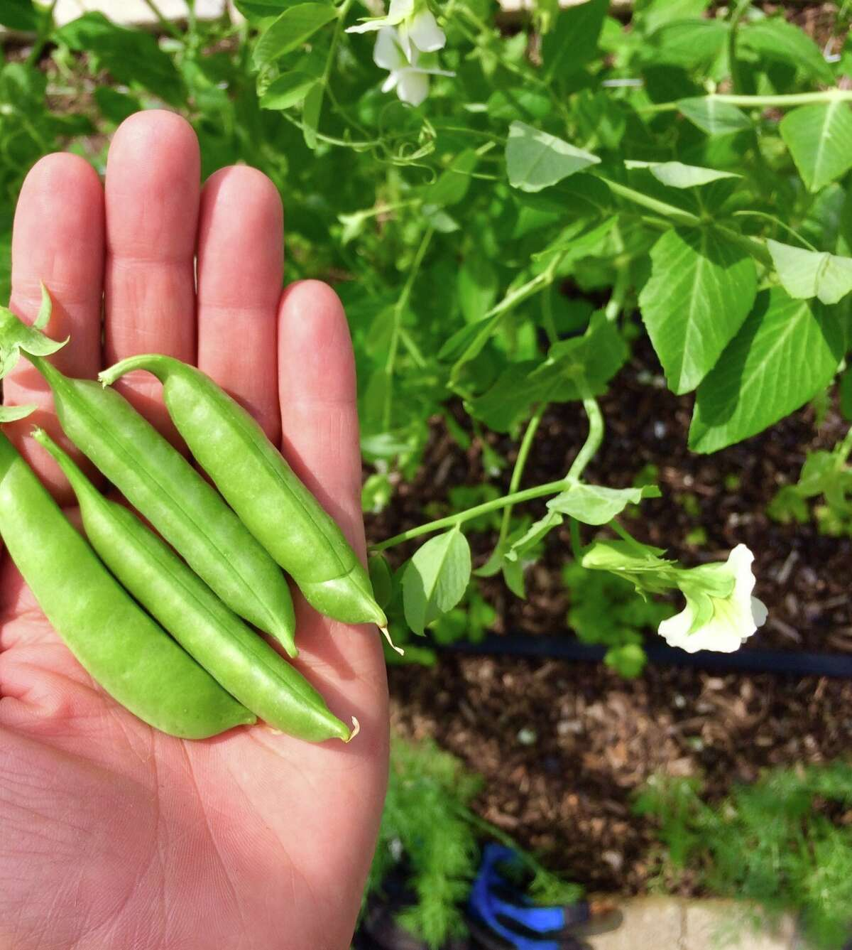 Recipe for Success is opening its Hope Farms, 10401 Scott, on Earth Day: April 22, 2017. Shown: Sweet peas growing at Hope Farms.