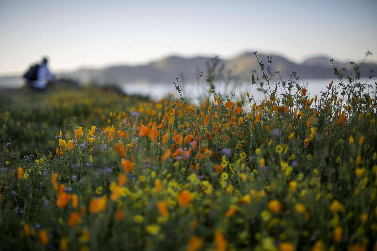 A hiker passes flowers after prolonged record drought gave way to heavy winter rains, causing one of the biggest wildflower blooms in years on March 16, 2017 at Diamond Valley Lake, near Hemet, California.