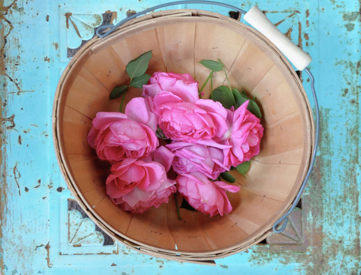 A basket of Katy Road Pink roses from the garden