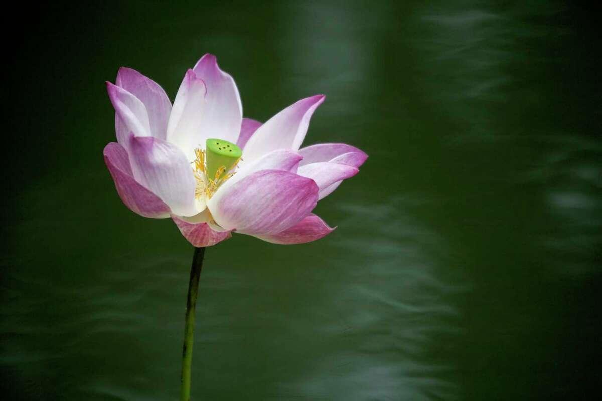 Lotus flower at Kamalaya Koh Samui